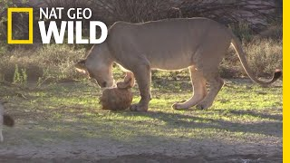 Watch a Lion Try to Eat a Tortoise | Nat Geo Wild
