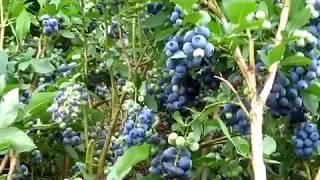 голубика   выращивание и уход.  Важные заметки из личного опыта
