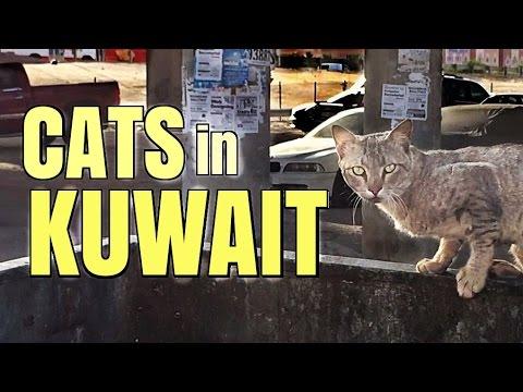 Cats in Kuwait 🐈🐾 || Scenes of Kuwait through the eyes of the wildlife || قطط في الكويت