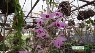 Lan trầm rùng tím nở rực rỡ - Dendrobium Nestor