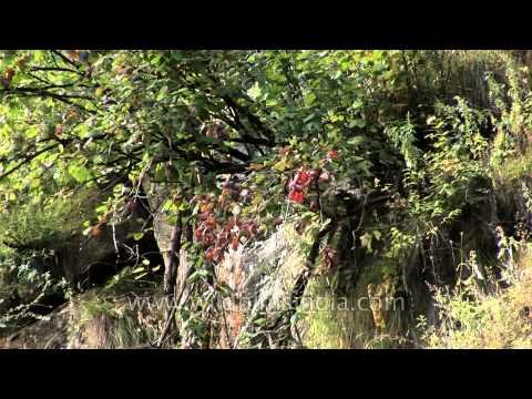 Wild alpine flora of Himalayan cliffs