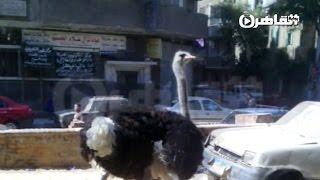 نعامة تتجول في شوارع فيصل بحرية تامة