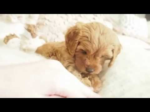 Lolly's Toy Cavoodle Girl 2770 - Pocket Puppies