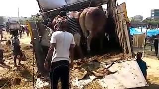 unloading gaints from truck aftabnagar goru haatt