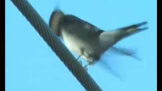 Boerenzwaluw - Hirundo rustica - Barn swallow - Rauchschwalbe