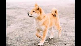 Купили собаку, японской породы- Shiba inu!!!