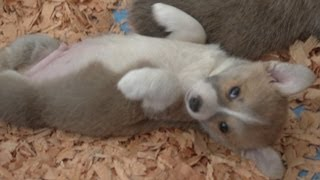 Corgi Puppy Wants to Seduce You