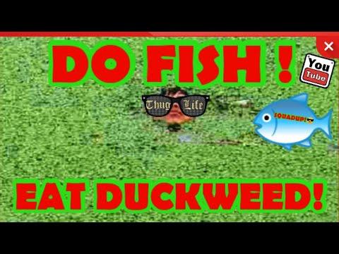 #plantedtank DO FISH EAT DUCKWEED!😎😱 #SQUADUP #AQUASCAPE #AQUARIUM #FISH #DUCKWEED #MONSTERFISH