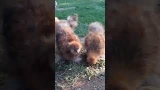 Süs Tavukları ( mor ibik Hollanda Habeş)