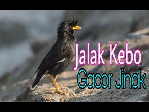 JALAK KEBO GACOR UNTUK MEMANCING BURUNG JALAK BERKICAU
