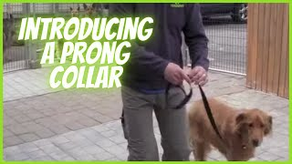 Prong Collar Intro To Dog- Solid K9 Training
