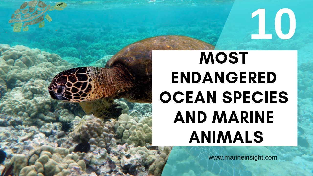 Image of: Marine Mammals Youtube 10 Most Endangered Ocean Species And Marine Animals Youtube