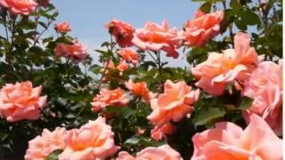 Прекрасный мир чудесных роз...