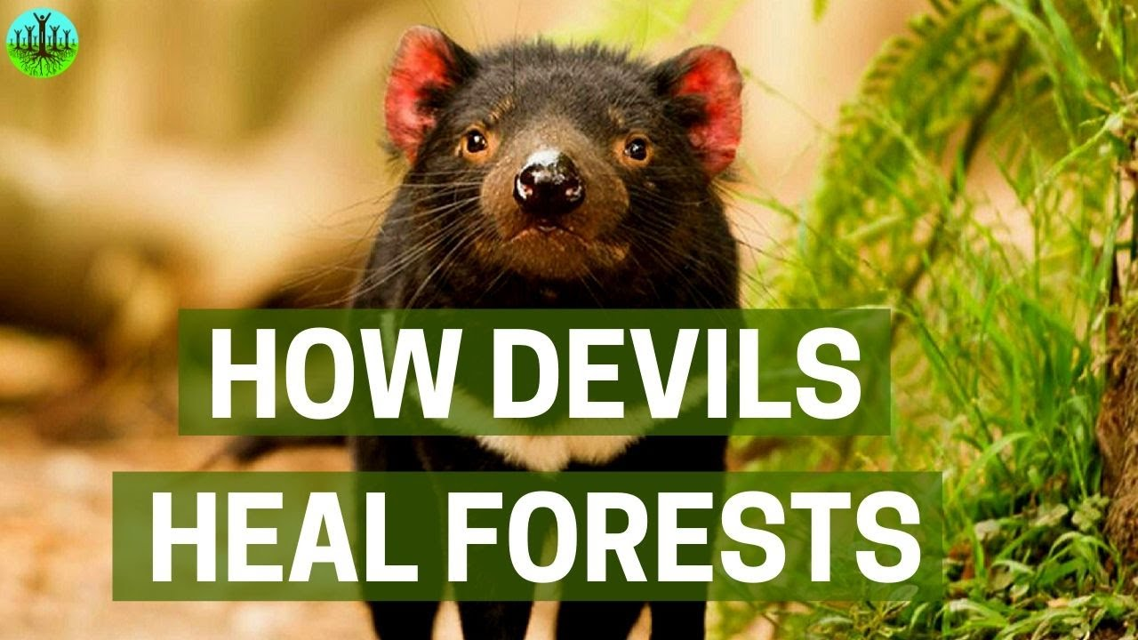 Video How Devils Heal Forests