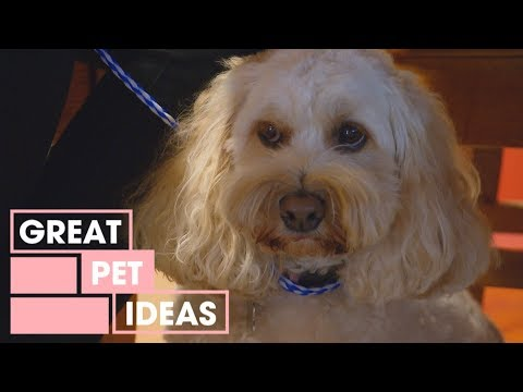 The Timid Spoodle   Pets   Great Home Ideas