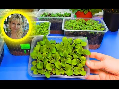 🌹🌹🌹САМЫЙ УДАЧНЫЙ СПОСОБ ВЫРАЩИВАНИЯ ПЕТУНИИ ! Посев семян и уход за сеянцами