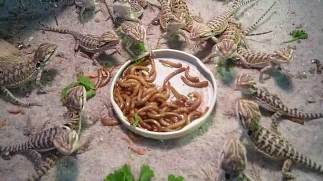 Dragon Bearded Meal Worms