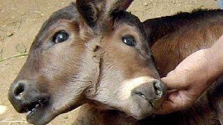 Самые странные шокирующие двухголовые животные