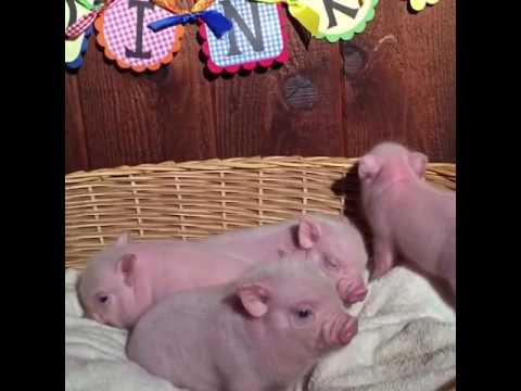 Oink, Oink, Mini Pigs!
