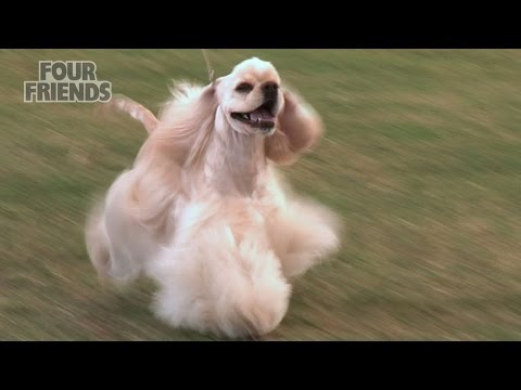 Windsor Dog Show 2015 - Gundog group