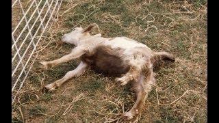 Редкая болезнь у котят (Синдром козы!!!)