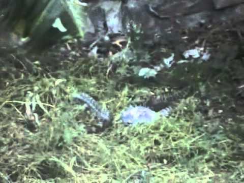 साप और नेउला की लड़ाई
