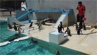 ちっとも言う事を聞かない楽しいペンギンショーを、ノーカットでご覧下...