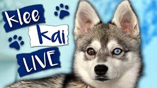 Alaskan Klee Kai LIVE  How small are these Mini Huskies?
