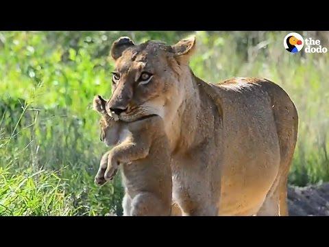 How Animal Moms Carry Their Babies | The Dodo