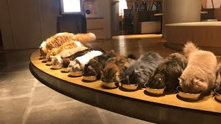 Japan's largest cat cafe in Kabukicho, Shinjuku, Tokyo was a relaxing and cute paradise