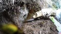 Wasp nest excavation in New Zealand
