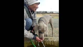 我が家の愛犬、ワイマラナーのニッキー君が大好きだった広場で水飲み。