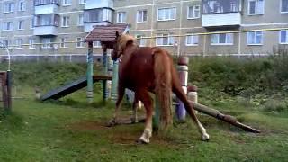 Лошадь Мастурбирует