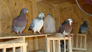 Sexing Pigeons, What Gender Is My Pigeon?