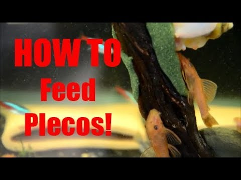 My SECRET For Feeding Plecos To Get Them To Spawn!