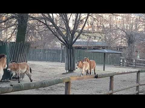Running Przewalski's wild horses