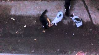 Котята едят мясо