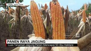 Download Video Panen Raya Jagung MP3 3GP MP4