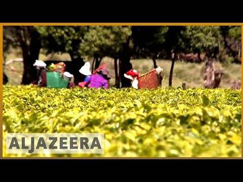 🇿🇦 Back in business: 'Largest' tea farm gets a new lease of life   Al Jazeera English