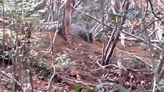 ワナにかかった100Kg越えの巨大イノシシに生身のヤリで挑む猟師さん thumbnail