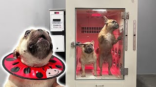 Taking My French Bulldogs To A 24 Hour Grooming Cafe Tantrum To Clean Doggo