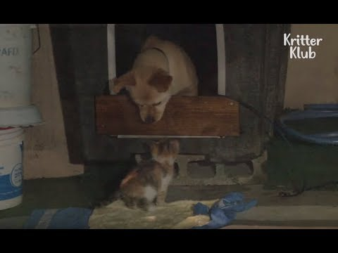 Dog Raised Two Generations Of Cats | Kritter Klub