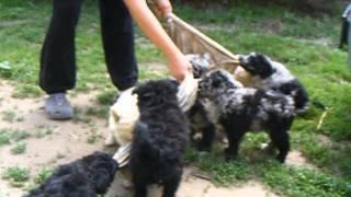 Irhaberki N and K 7 wks puppies tugging