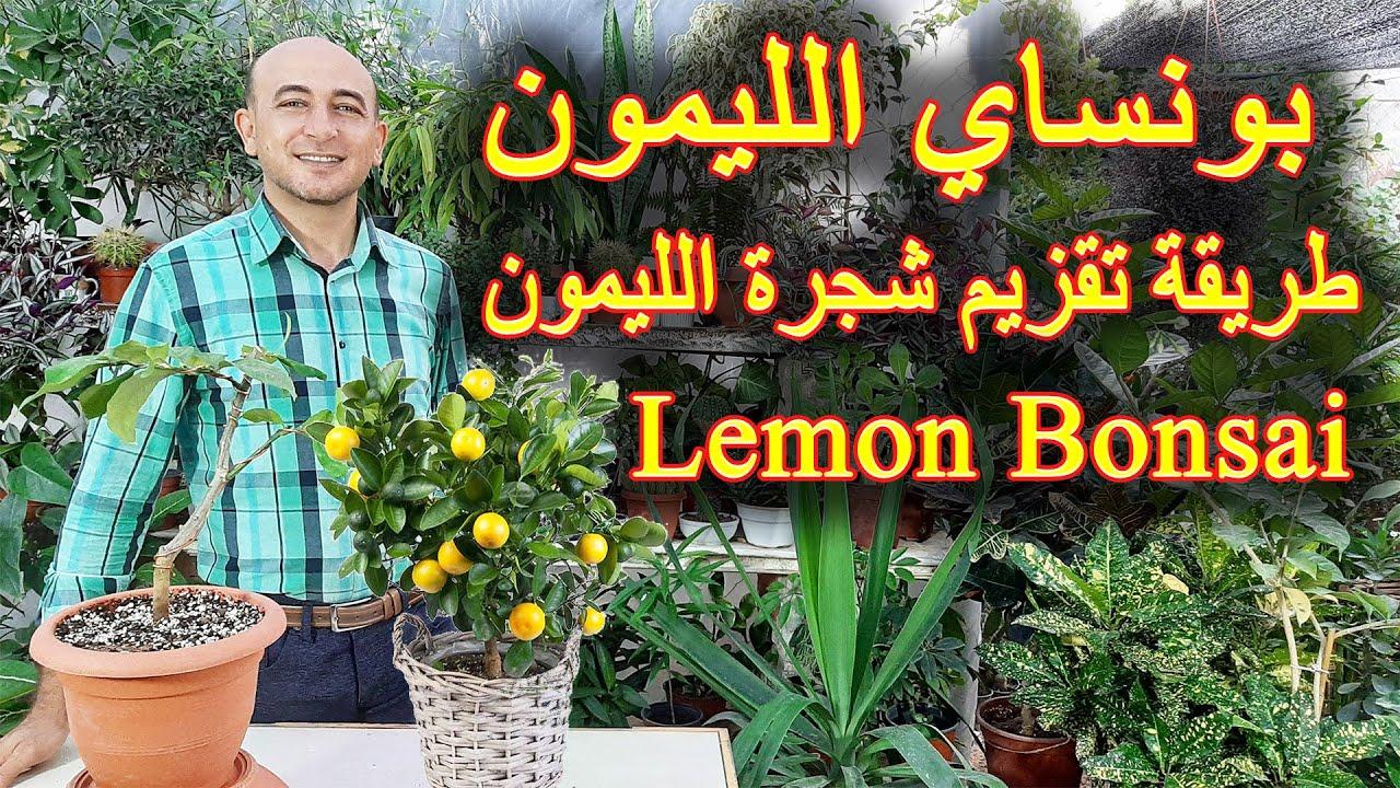 طريقة عمل بونساي الليمون, تقزيم شجرة الليمون, How to make Lemon Bonsai Tree