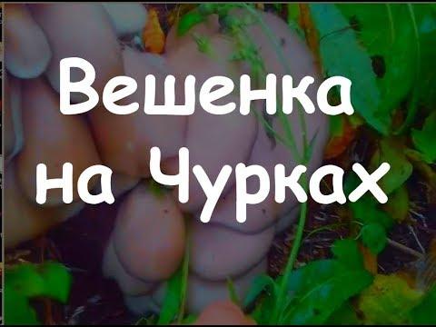 как выращивать грибы вешенка на пнях