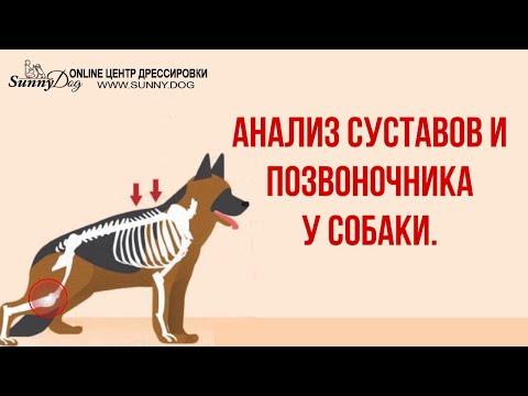 видео: Основы догфитнеса. Анализ состояния суставов и позвоночника вашей собаки. Первичный осмотр.