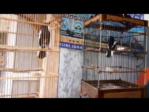 Suara Burung Kacer Tarung Gaya Barbarian