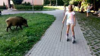 Udomowiony dzik-przyjaciel dzieci 😁- Gdynia