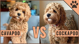 Cavapoo vs Cockapoo  Compare Two Poodle Mix Breeds