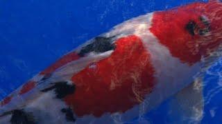 Video Koi story: priceless Japanese fish make a splash download MP3, 3GP, MP4, WEBM, AVI, FLV Juni 2018